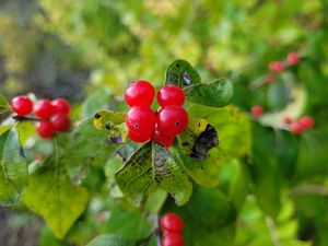 Close-up of green-leafed bush with bright red berries.