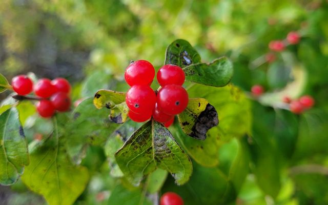 Close-up of bright red berries on green bush.
