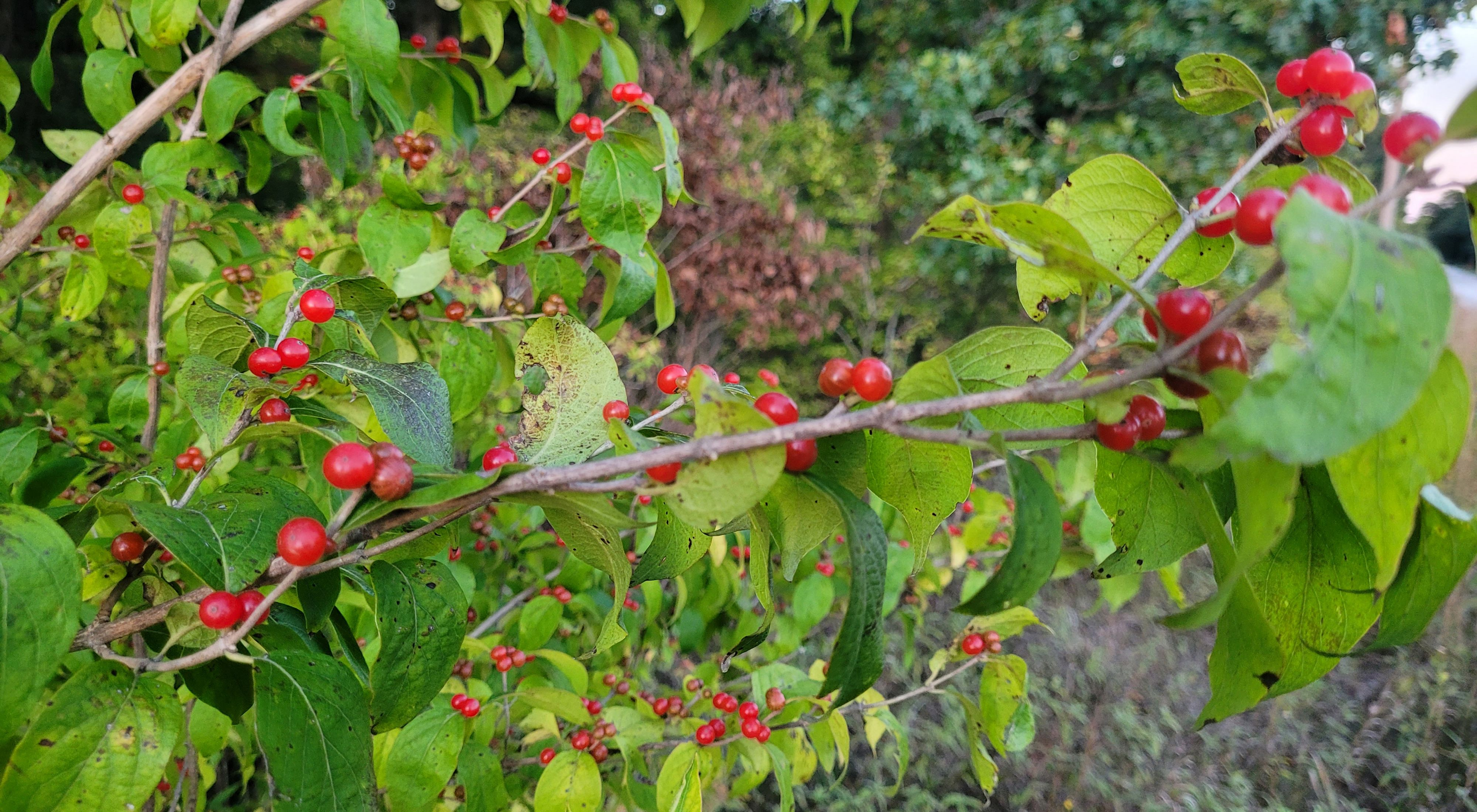 Bright green-leaved bush with small round red berries.