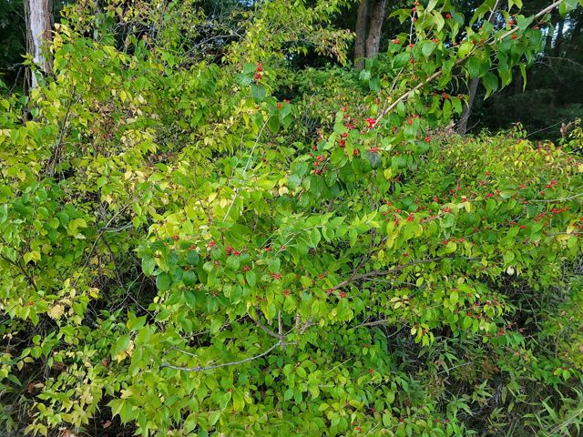 Large green bush with small red berries.