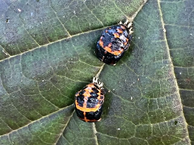 lady bugs on a leaf