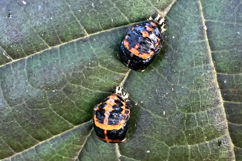 Two beetles sit on a dark green leaf. The insects have a black body with a reddish cream marking on the back. Two black stripes on their backs resemble wings.