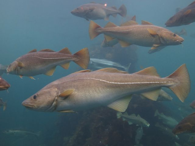 Four yellow-gray cod fish swim in bright blue waters, one fish is at the center foreground of the photo.