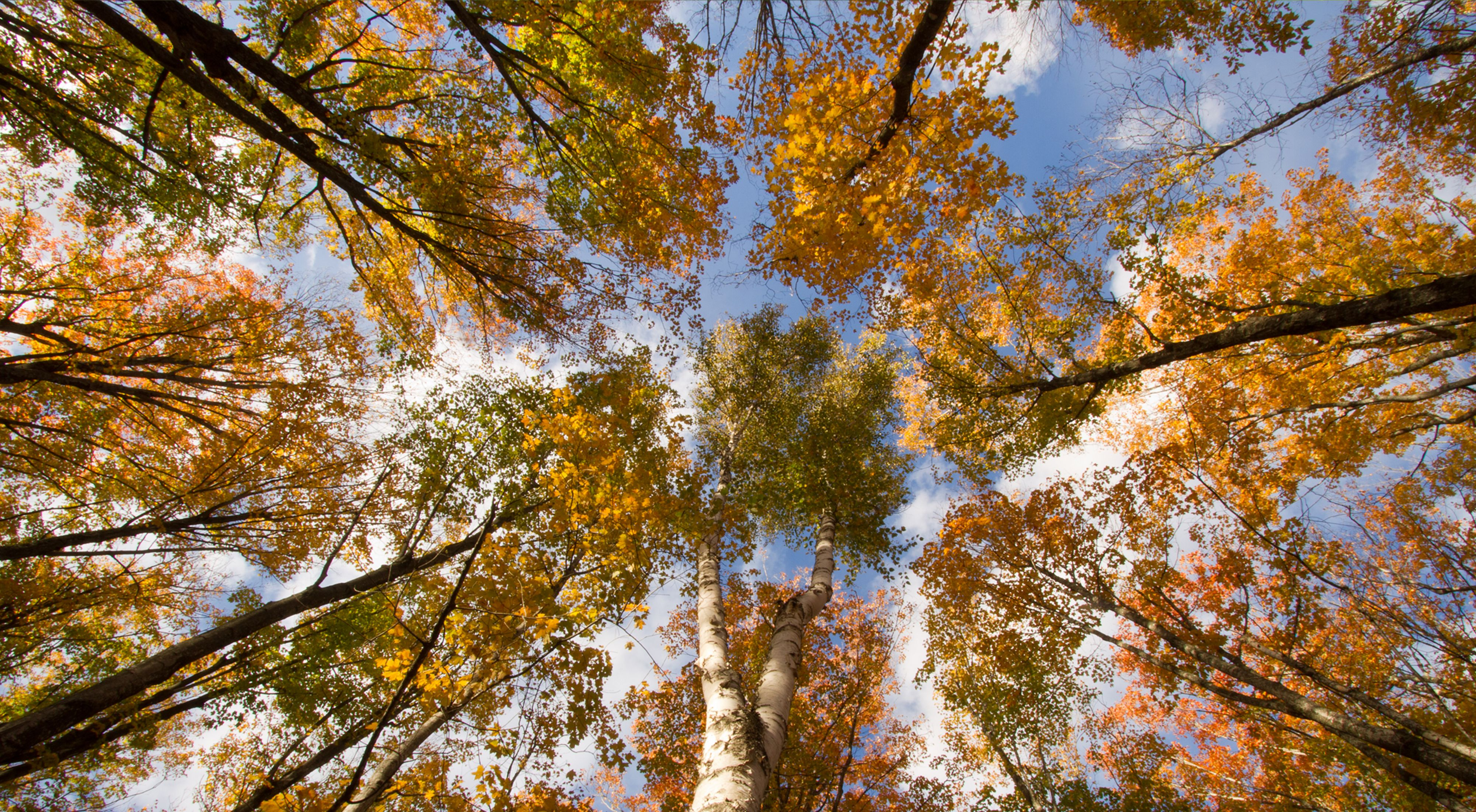 Looking up at trees with autumn colors.