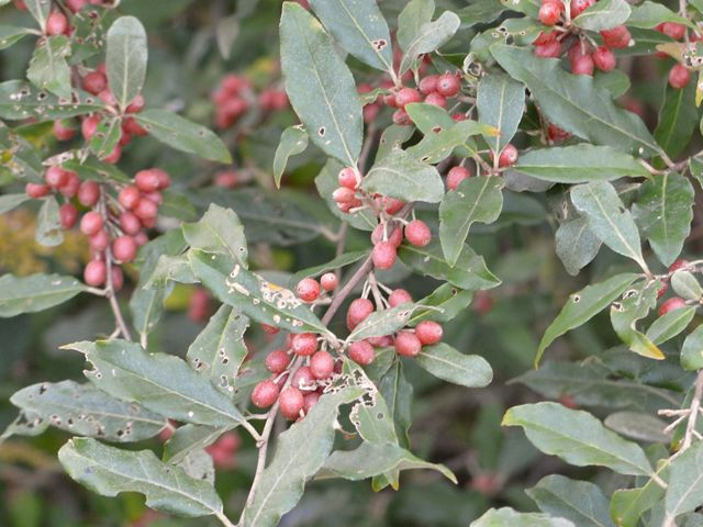 red fruit on long elliptical silver green leaves of invasive autumn olive