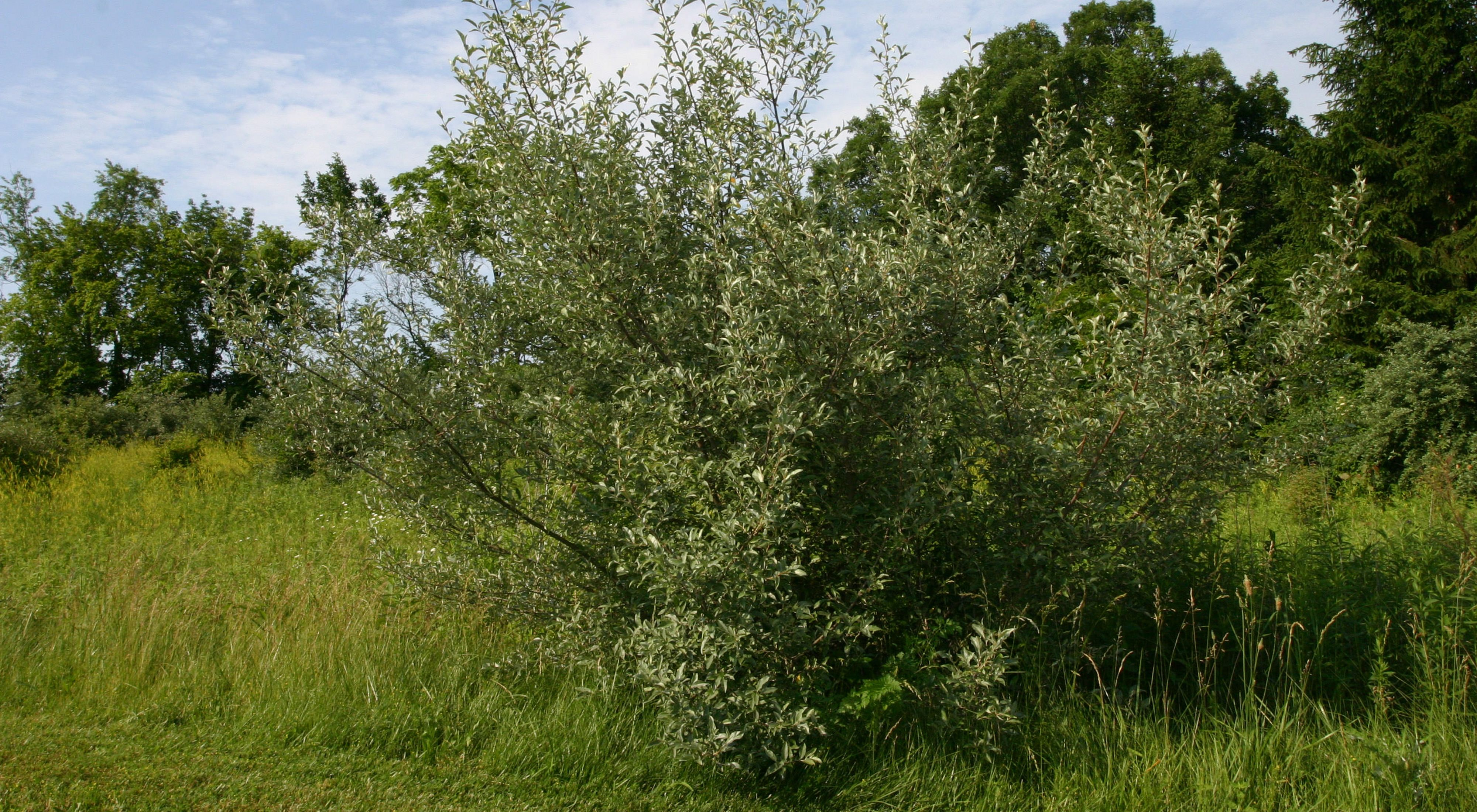 silvery green leaves of invasive autumn olive in grassy clearing