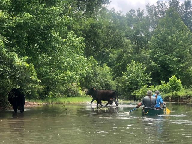 Cows in stream with canoe paddlers approaching.