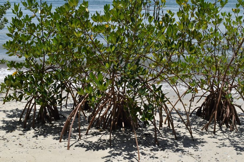 A growing mangrove forest at a Florida nature preserve, showing the mangrove roots spreading out into the sand.