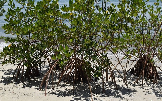 Mangroves take root