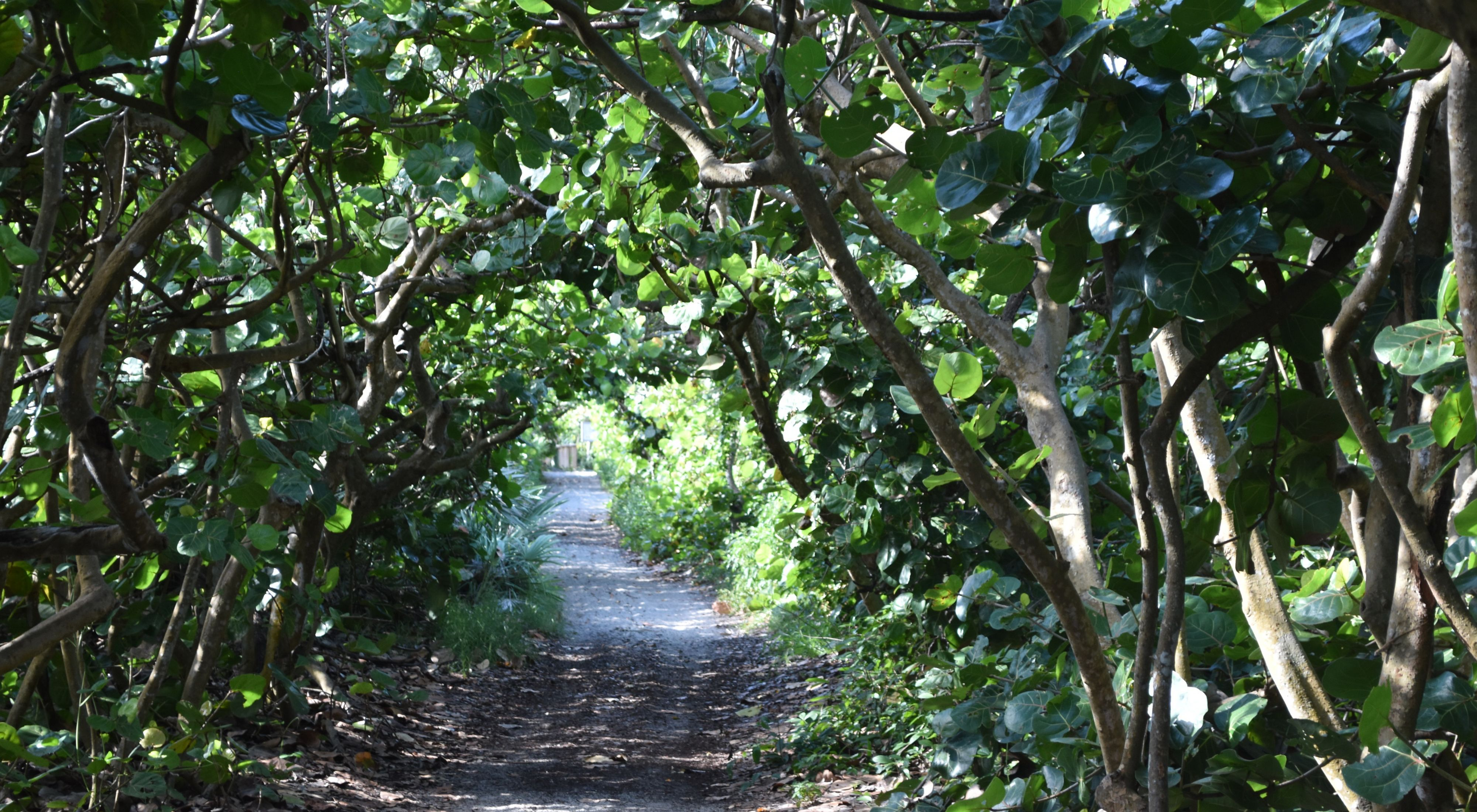 A tunnel of green sea grapes with sunlight peeking through the branches.