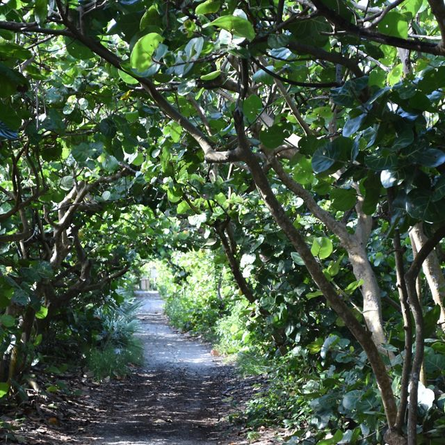 A dirt pathway through a tunnel of verdant foliage.