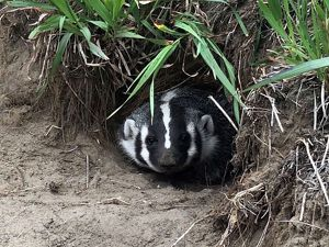 Badger at Kankakee Sands