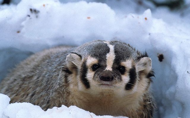 A badger emerges from its snowy den, CA
