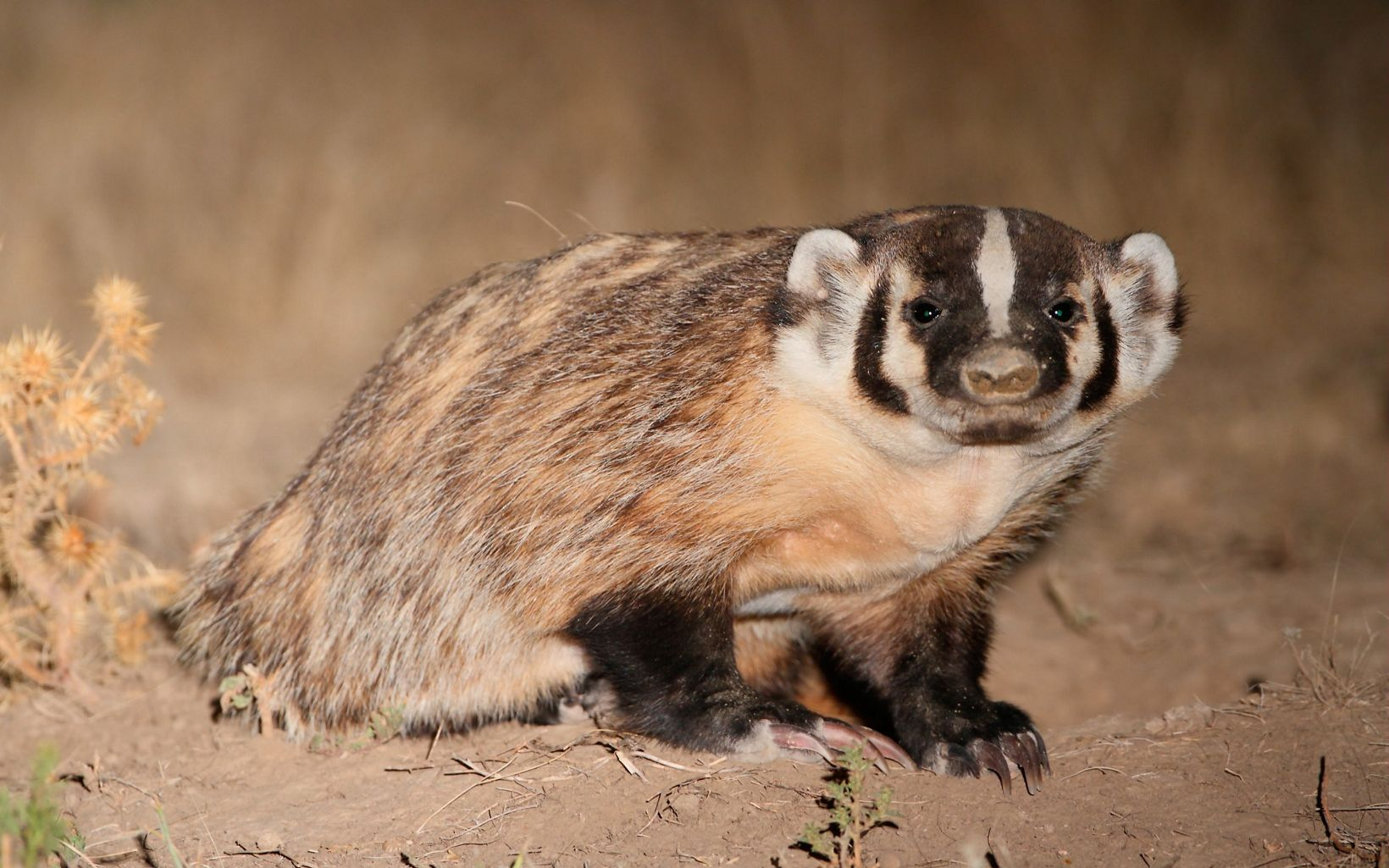 Medium sized mammal with black and white stripes on face.