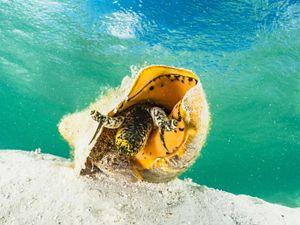 A queen conch on the ocean floor near Grand Bahama