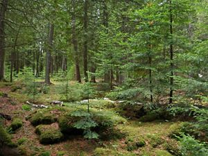 Interior forest scene showing land TNC donated at Baileys Harbor Boreal Forest and Wetlands State Natural Area with conifer trees, saplings and downed logs on forest floor