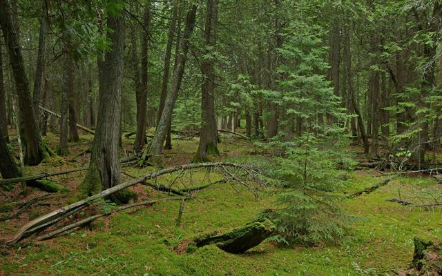 New growth carpets the ground beneath fir trees in the new addition to Baileys Harbor Boreal Forest and Wetlands