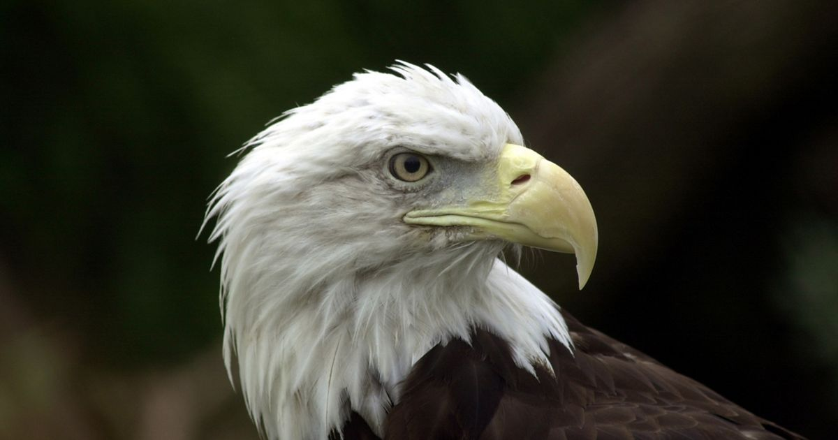 A close-up look at the majestic bald eagle.