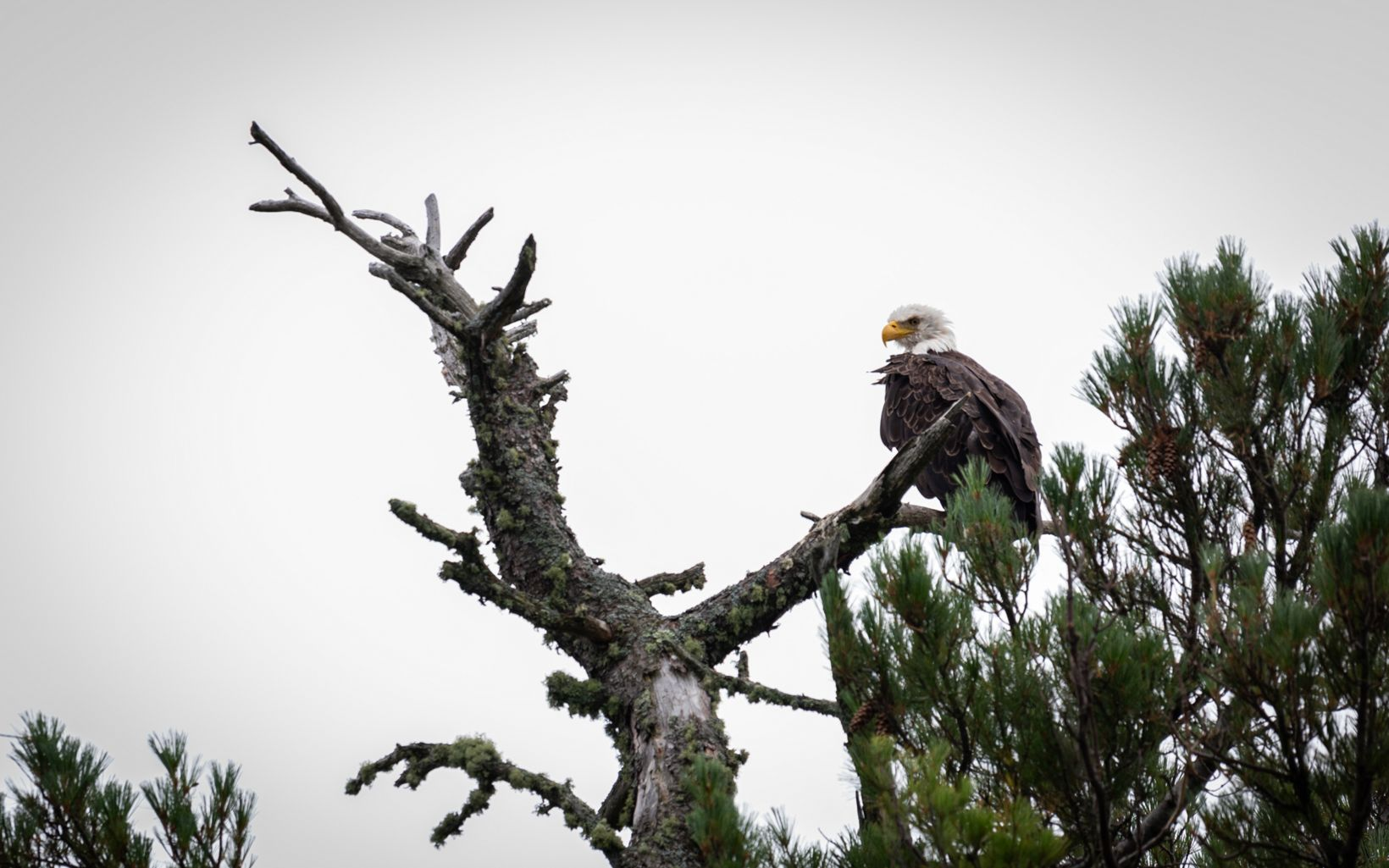 A bald eagle perches at the top of a tree in front of gray skies.