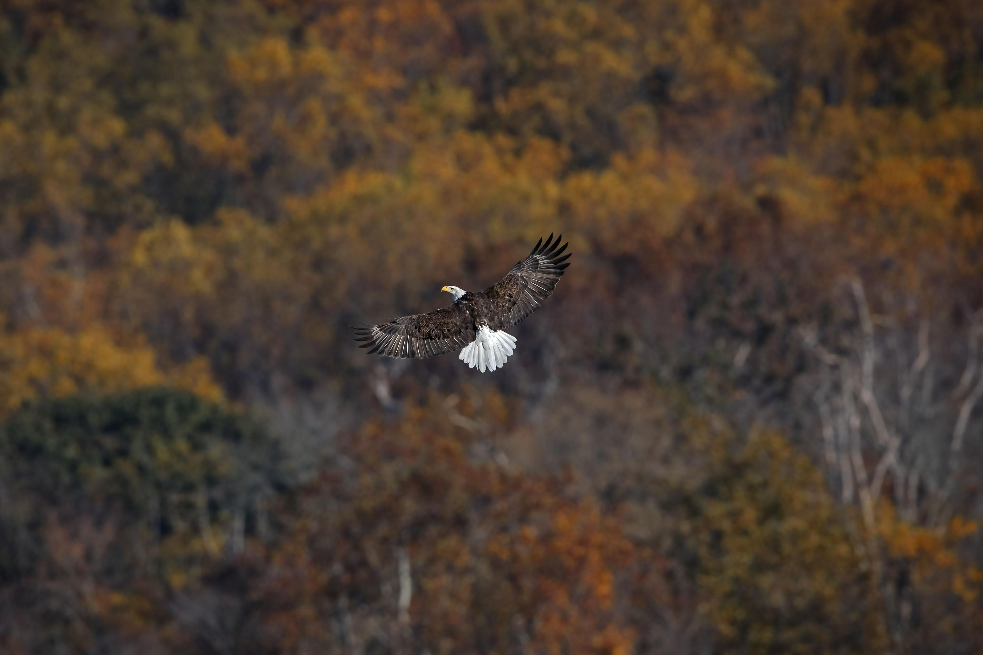 A bald eagle is flying over a forest.