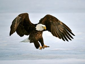 A bald eagle spreads its feet out in landing.