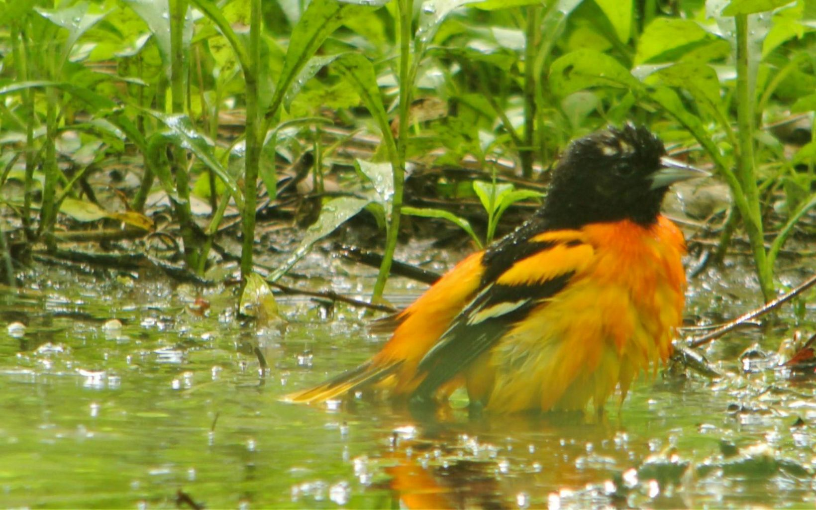 An orange and black bird sits in a puddle.