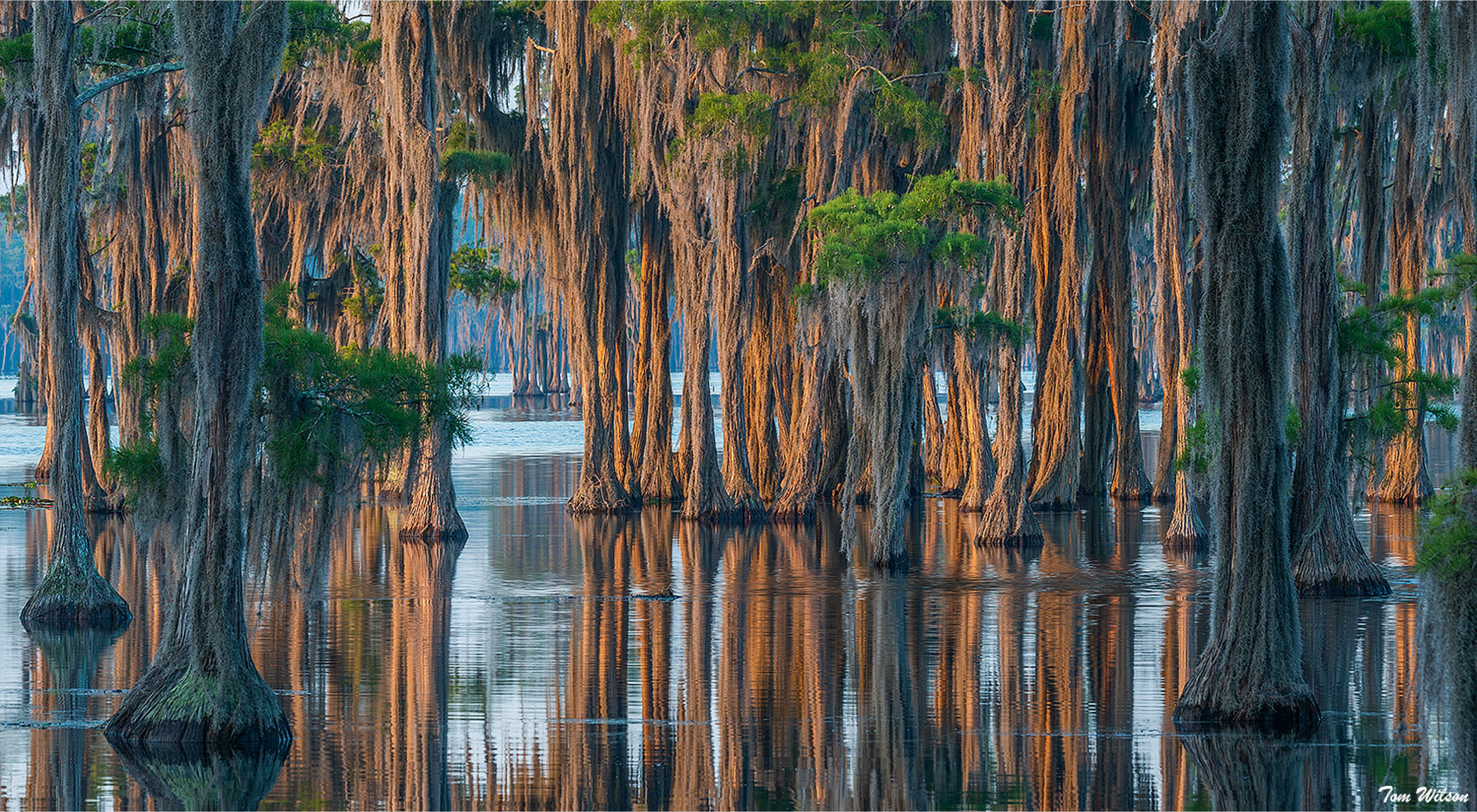 Banks Lake cypress trees.