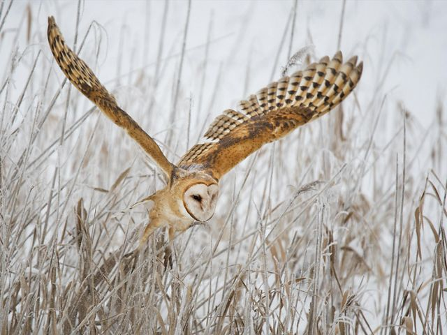 A brown, white and black owl with wings outstretched, taking off from snowy ground covered in brown grass.