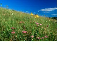 Grassy prairie with purple and yellow flowers, blue sky in background