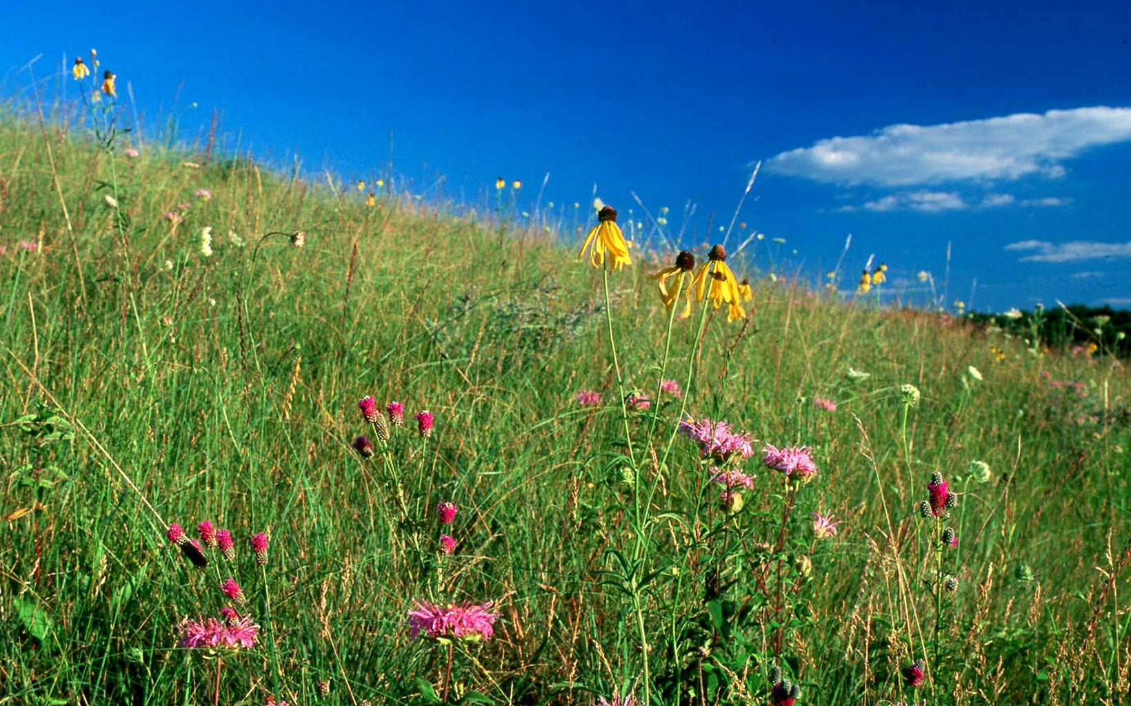 Close-up of hillside with prairie habitat in the summer with blooming yellow coneflower and monarda.