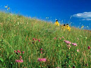 A field of native prairie flowers.