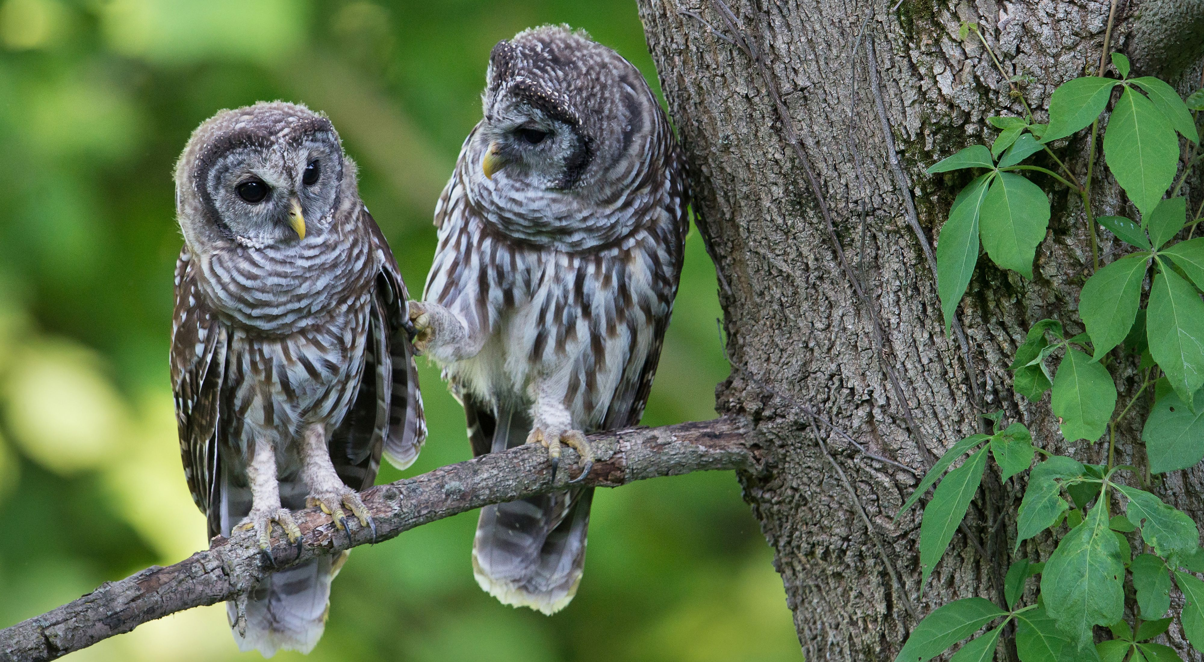 Two mottled owls perched on a tree branch.