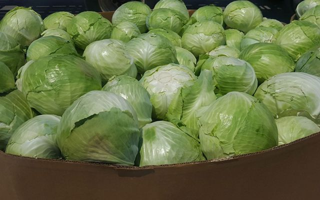 A large container of green cabbage from the Florida farm of Rober and Chuck Sam.