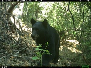 New Mexico's state animal, American black bear, made an early appearance.