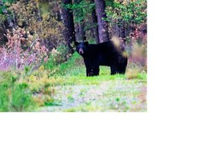 A black bear standing in a forest