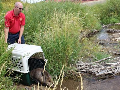 A beaver is released from a cage into a wetland.