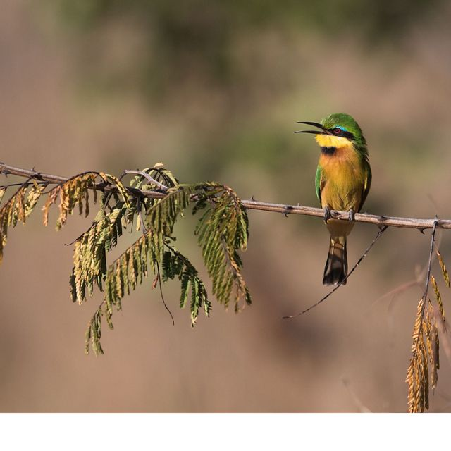 A colorful bee-eater sits on a branch