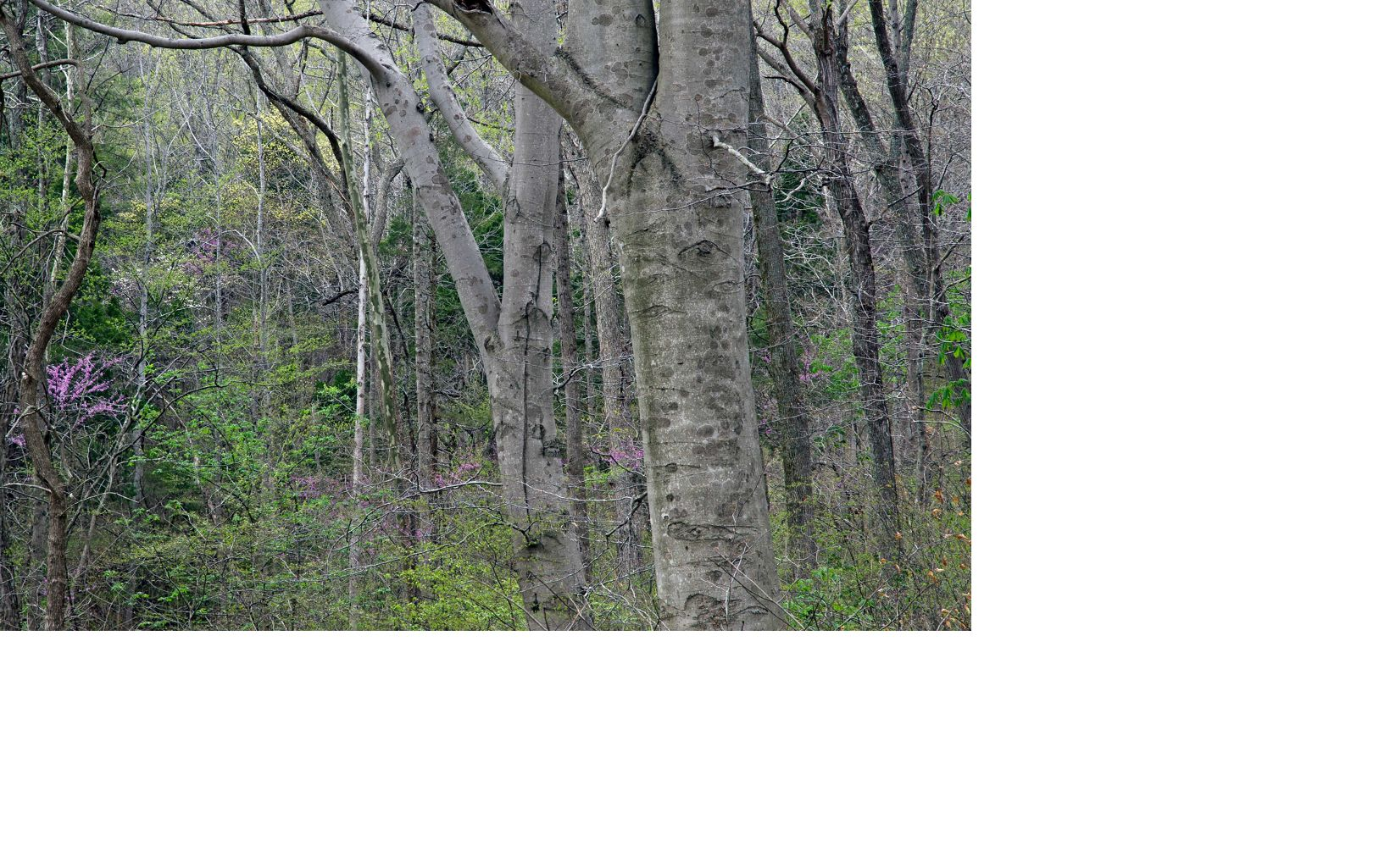 Beech and Redbud trees along the trail in spring