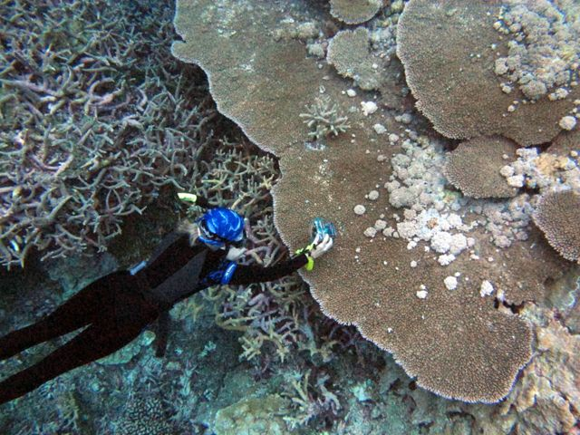 Drew Harvell photographs a tabulate coral with growth anomaly disease from Palmyra Atoll.