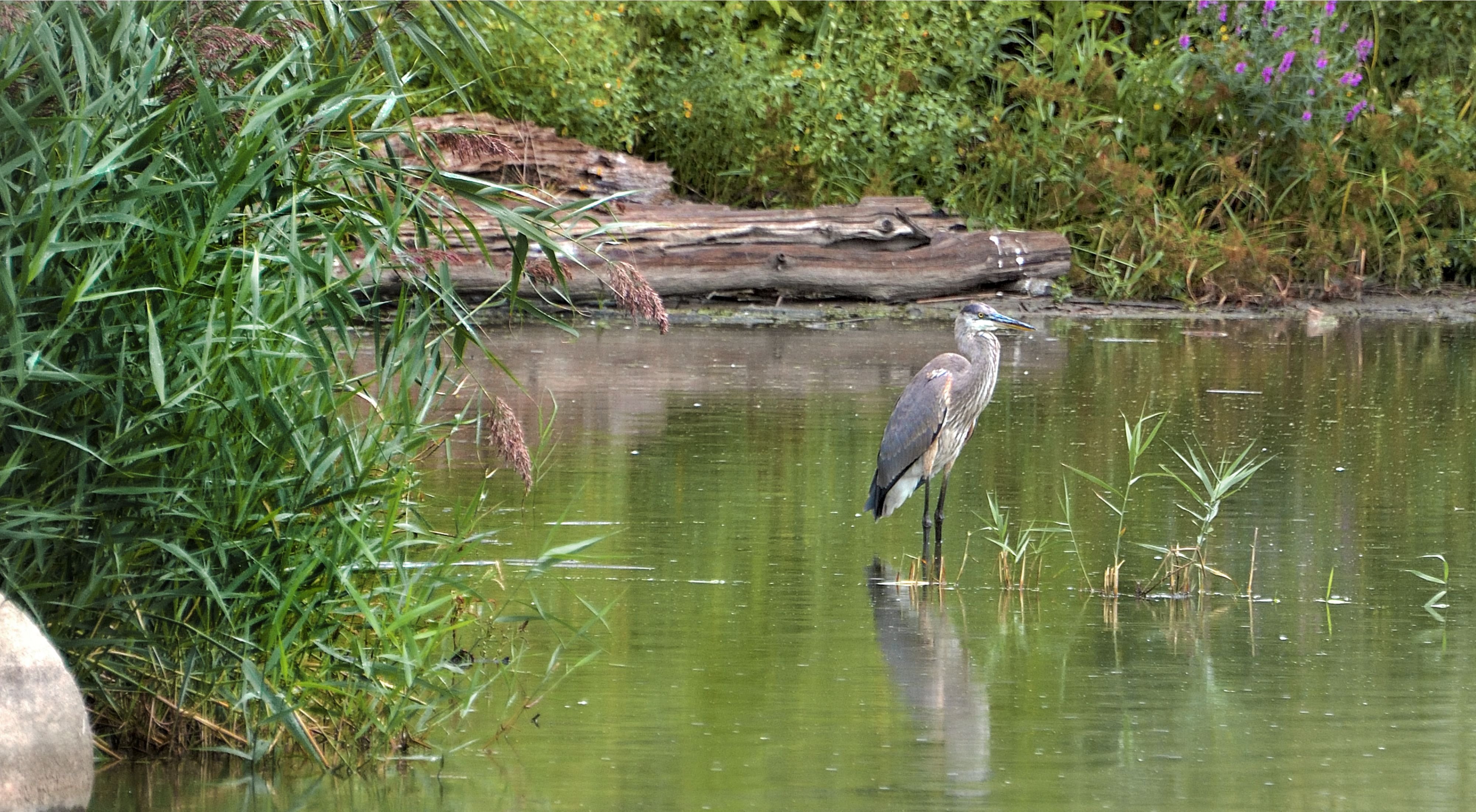 A heron stands in a small pool of water.