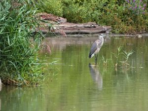 Great blue heron at Big Marsh Natural Area