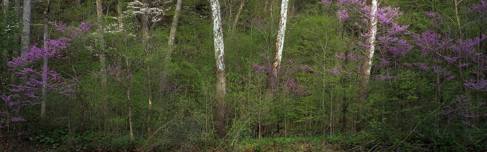 Redbuds, dogwoods and sycamore trees create a spring mosaic of color in Big Walnut Nature Preserve, central Indiana