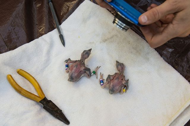 Two featherless woodpecker chicks rest on a white cloth after receiving blue color coded identification bands.