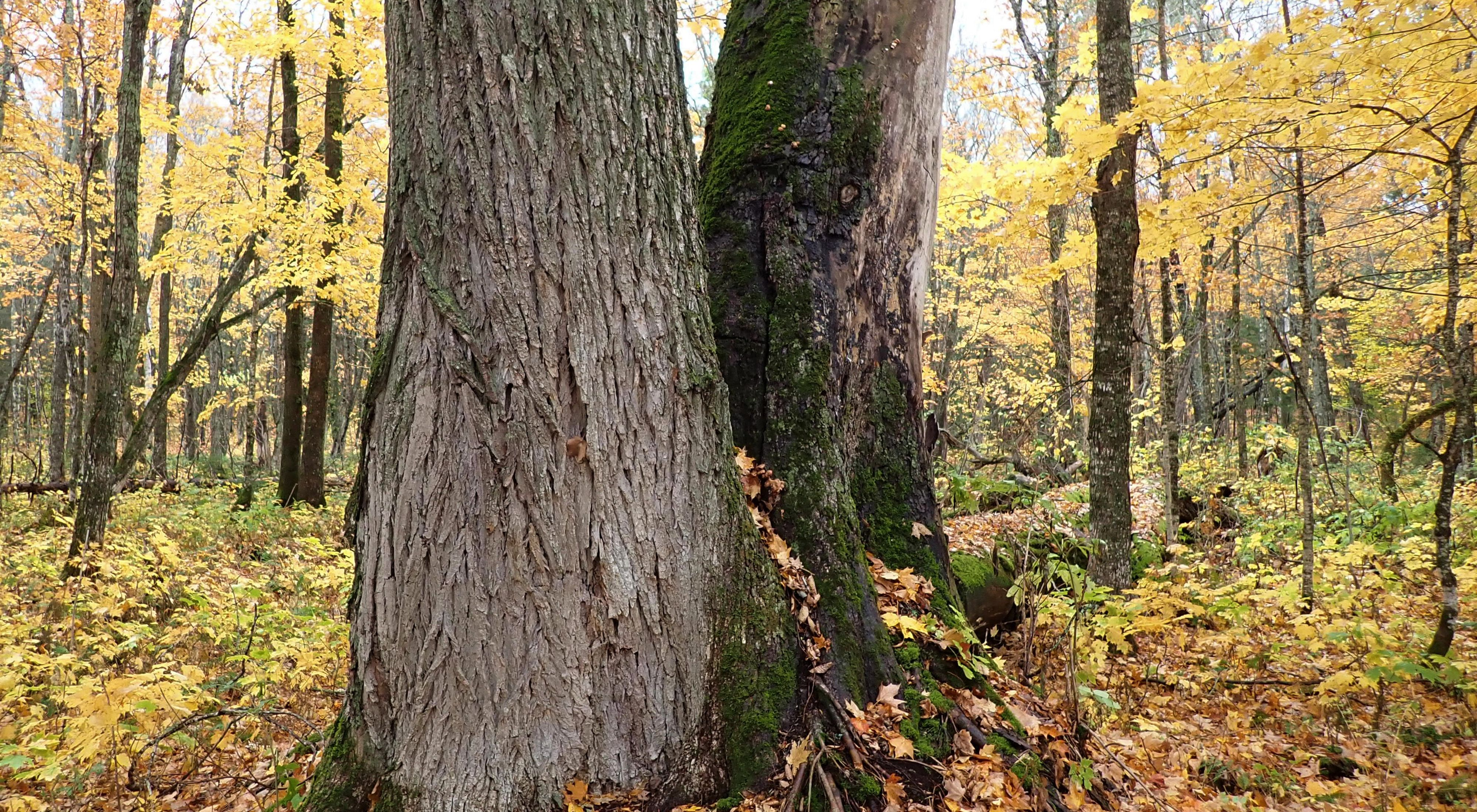 The lower trunk of a large elm tree stands in a forest backed by yellow autumn leaves.