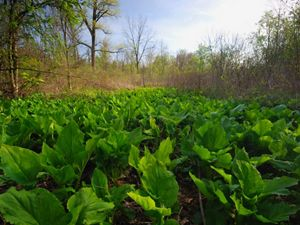 Skunk cabbage at Big Darby Headwaters Preserve