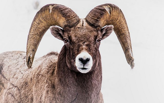 Bighorn sheep staring directly into the camera