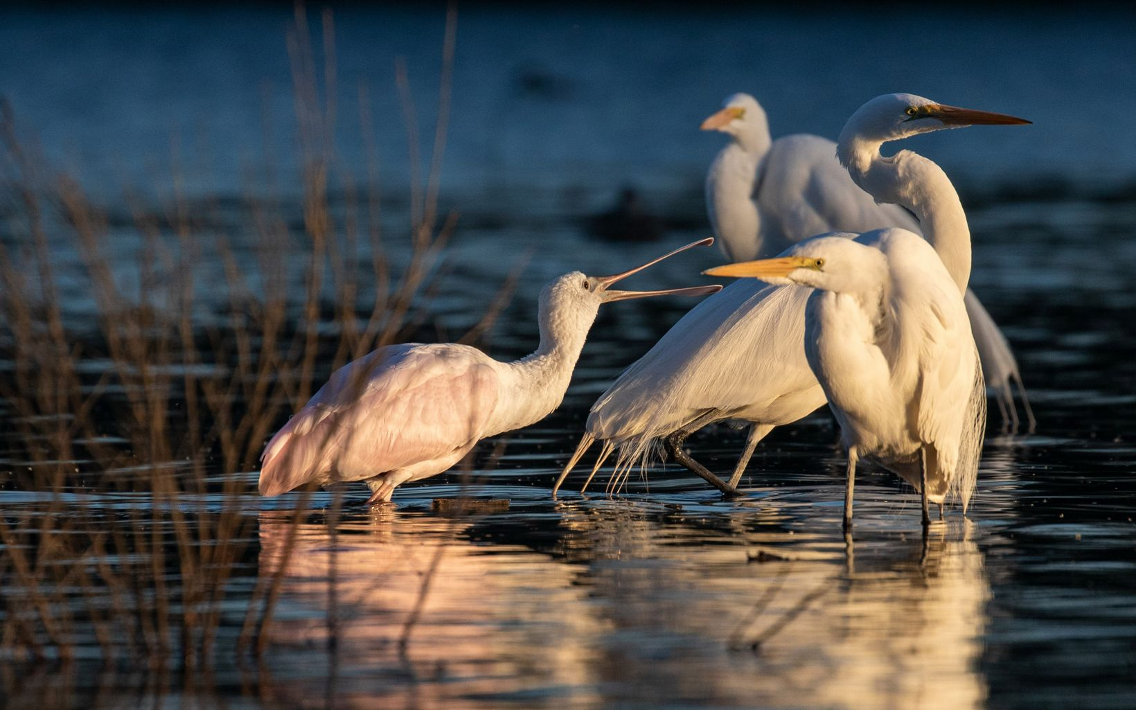 A group of white wading birds standing in water. One bird is lounging at another with its beak.