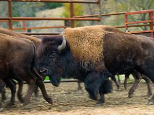 Bison reintroduced to Iowa