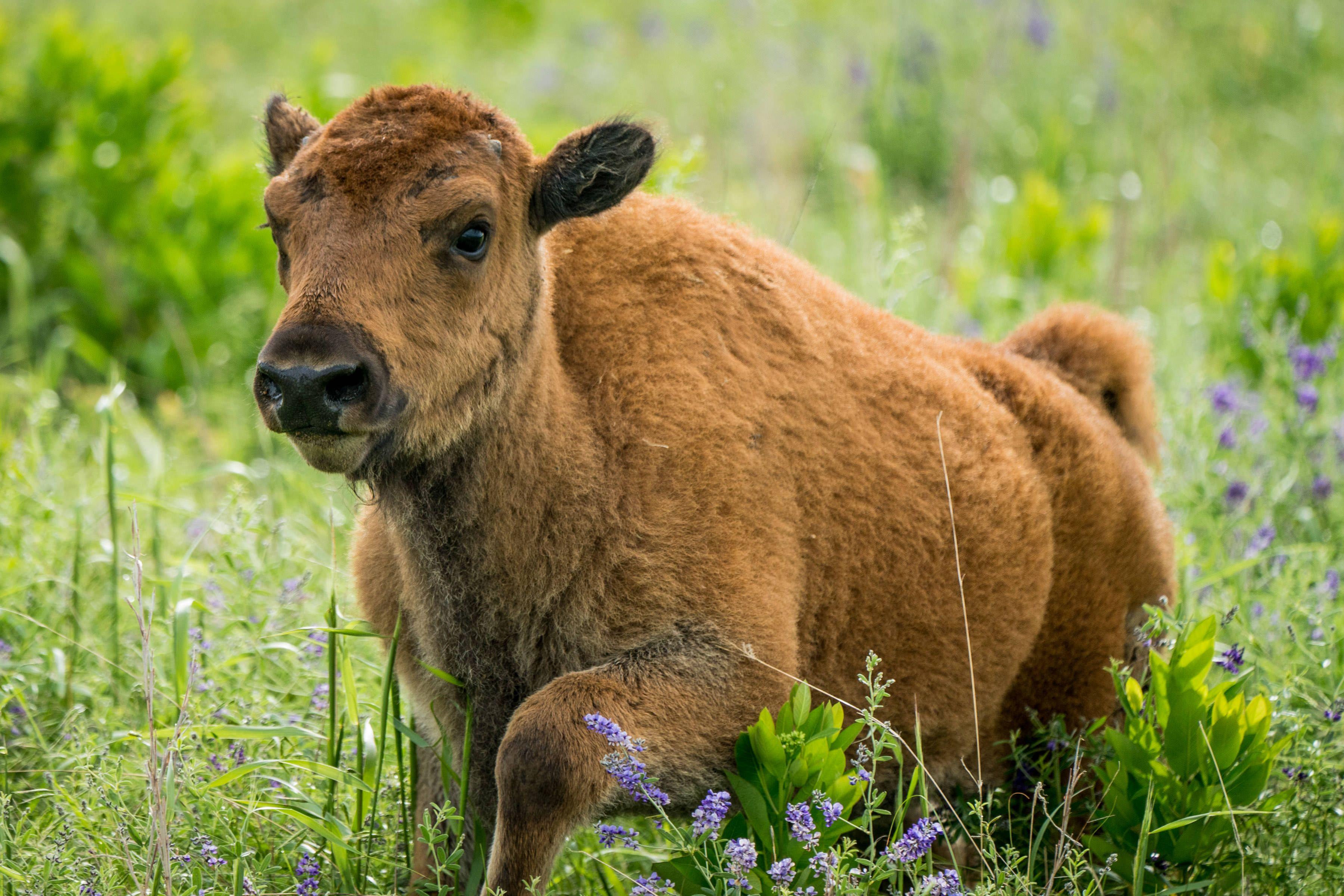 Bison calf standing in tallgrass.