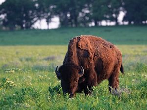 Close-up of a single bison grazing in an open pasture.